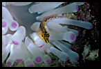 Diamond Blenny and Anemone