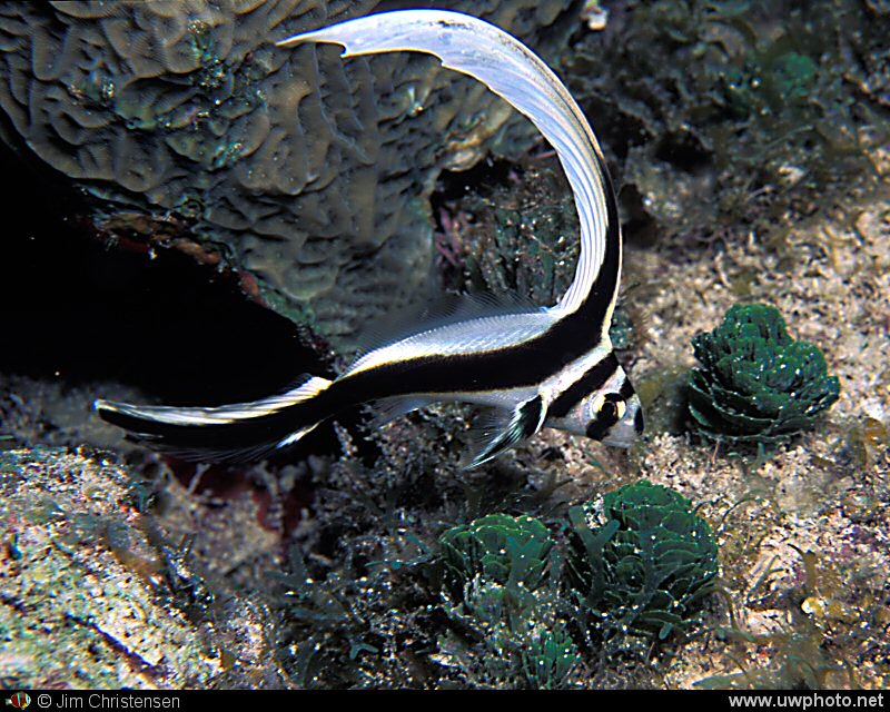 Spotted Drum: Juvenile Spotted Drum Fish <I>Equetus punctatus</I> are known for there long dorsal fin.