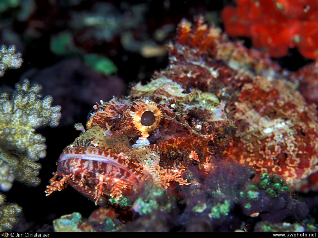 Scorpionfish: The camera‎s strobe brings out the bright colors of this Scorpionfish.