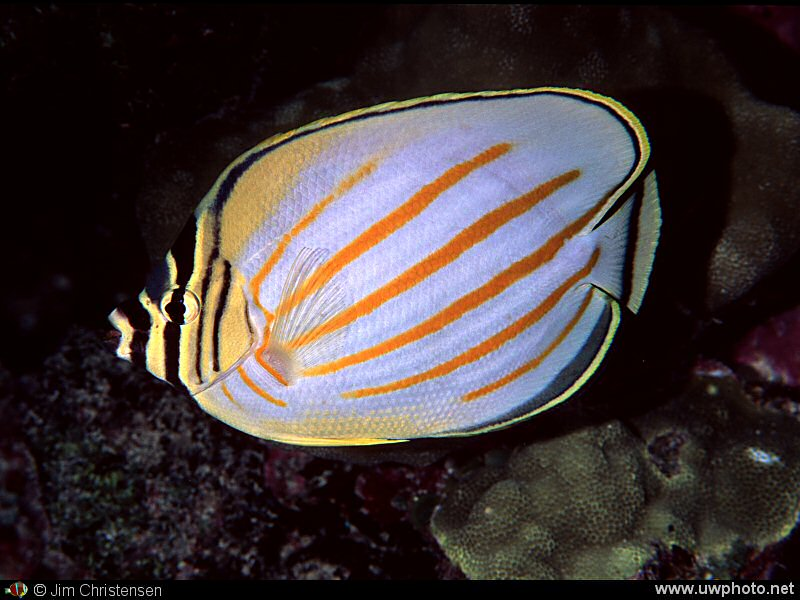 Butterflyfish: The Ornate Butterflyfish <I>Chaetondon ornatissimus</I> is one of many types of Butterflyfish.