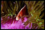Anemonefish and Purple Anemone