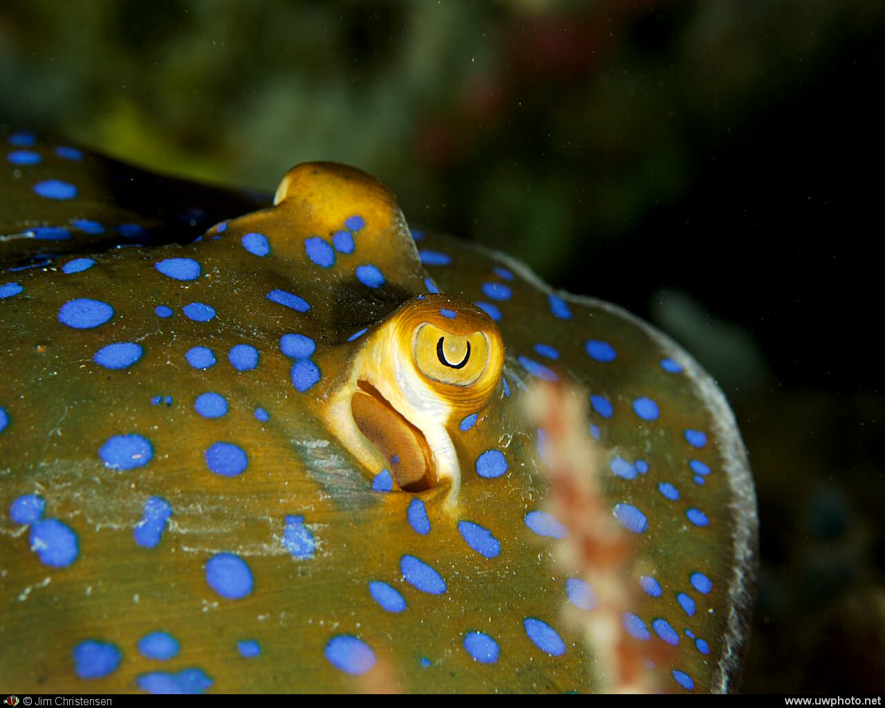 Blue Spotted Ray: