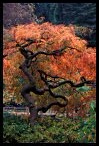 Japanese Maple in the Fall