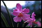 Visit the Orchids Wallpaper Gallery