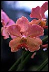 Visit the Orchids Picture Gallery