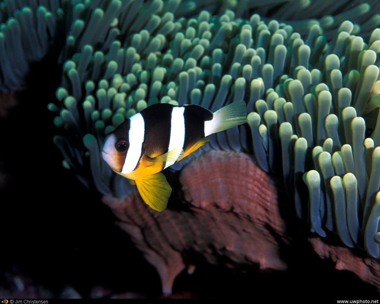Clownfish: Clark&lrm;s Anemonefish <I>Amphiprion clarkii</I>.