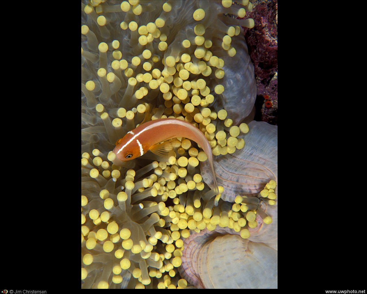 Clownfish: A Pink Anemonefish <I>Amphiprion perideraion</I> in a yellow anemone