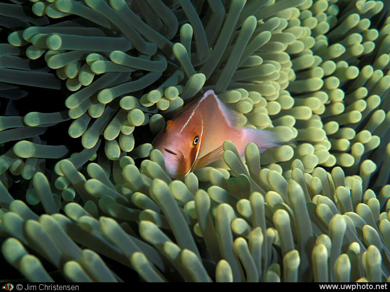 Clownfish: A Pink Anemonefish <I>Amphiprion perideraion</I> nestled in its host Anemone.