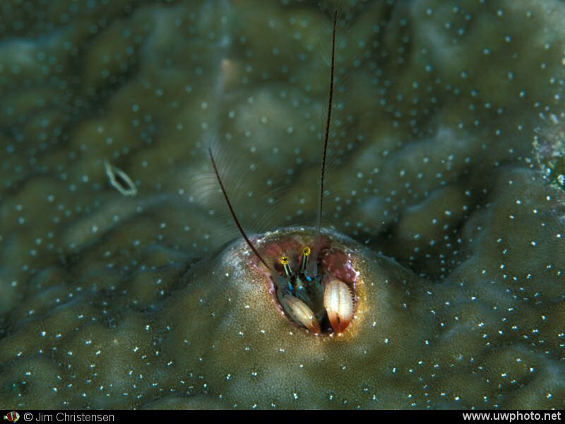Coral Crab: A Coral Hermit Crab <I>Pagutitta harmsi</I> peeks out of his hole.