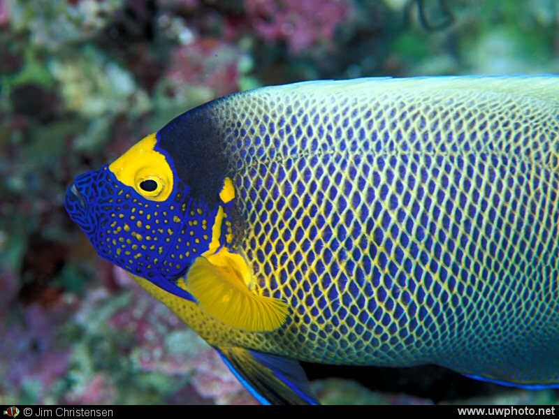 Angelfish: The Yellowmaksk angelfish <I>Pomacanthus xanthometopon</I> may be identified by its distinctive markings.
