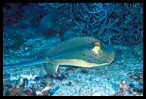 Blue-spotted Ray