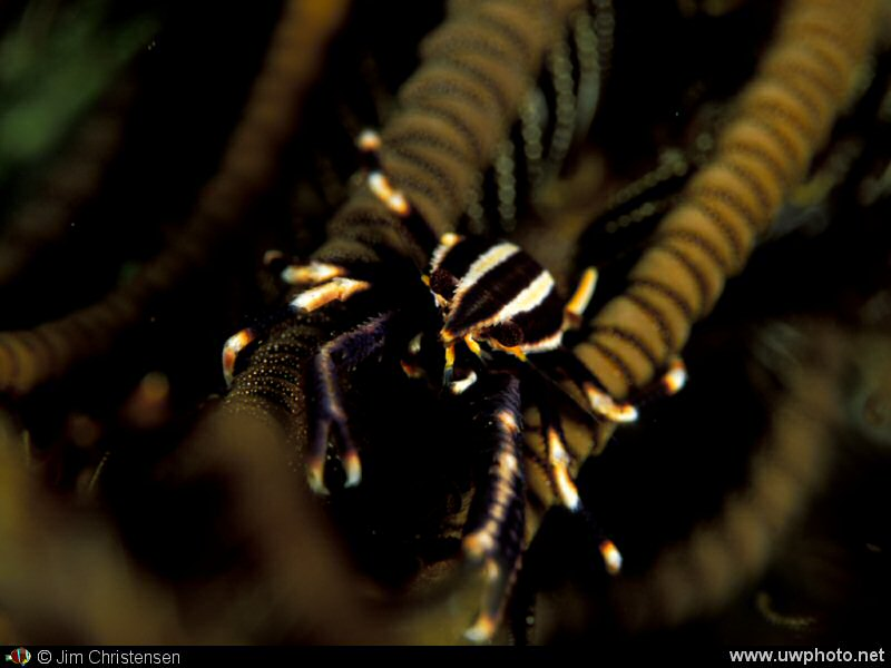 Crinoid Crab: A tiny Crinoid Crab is almost invisible.