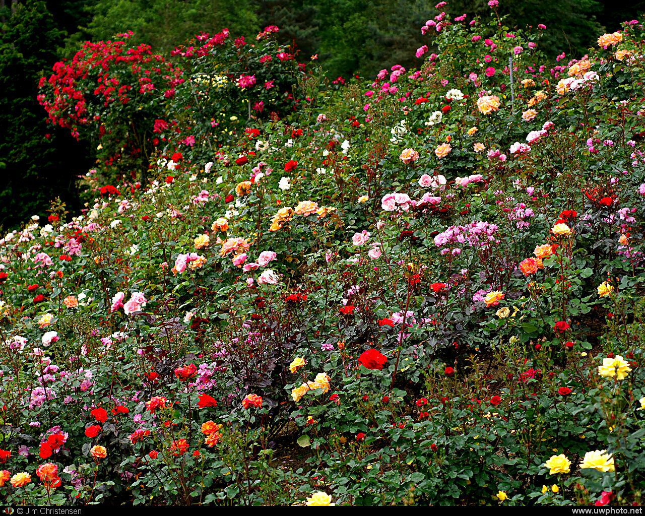 Field of Flowers: Roses from the International Rose Test Garden in Portland Oregon, the City of Roses.