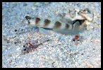 Shrimp Goby and Blind Shrimp