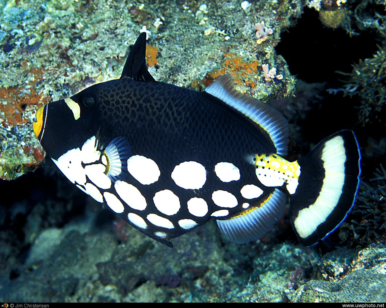 Clown Triggerfish: To elude predators, the Clown Triggerfish <I>Balistoides conspicillum</i>wedges into a hole or under a rock and locks its first dorsal spine upright.