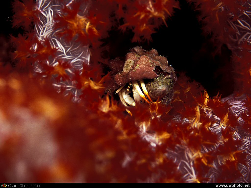 Hermit Crab: A tiny hermit crab hides in a bright soft coral.