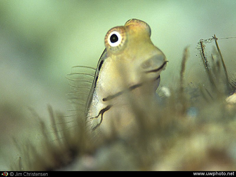 Goofy Blenny: Blennies can have really funny looking faces.  This is a <I>Yaeyama Blenney</i> peeking over a clump of coral.