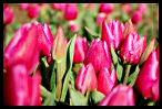 Visit the Tulips Picture Gallery