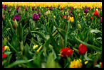 Visit the Tulips Image Gallery